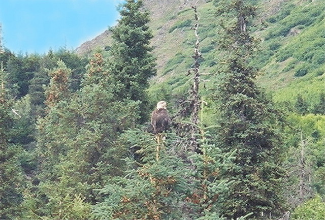 An eagle looks for lunch